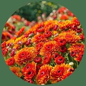 fall perennials