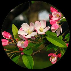 Exscape Designs Flowering Crabapple Trees