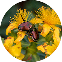 beetles on flowers in garden