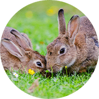 rabbits eating grass outside
