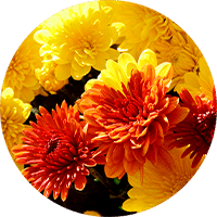 orange and yellow fall mums